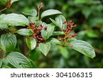 Small photo of Viburnum cylindricum (Adoxaceae) or Caprifoliaceae is a splendid shrub Ornamental blue fruit with red pedicels in late autumn.