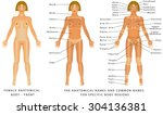 female body   front  surface... | Shutterstock .eps vector #304136381