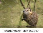 Muskrat in the water hiding between roots of a tree in wetlands