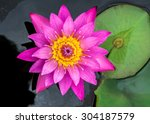 Water Lily On Top Veiw
