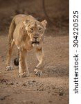 Asiatic Lion Lioness Gir