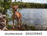 Small photo of Dwarfish pinscher against the forest lake