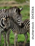 Young Zebra Cudling With Mothe...