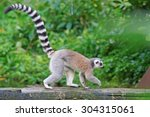 Ring Tailed Lemur  Lemur Catta