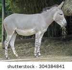 Small photo of Young african wild ass. Latin name - Equus africanus