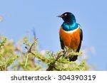 Superb Starling Bird ...