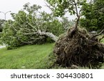 Fallen Tree After Typhoon. A...
