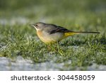 grey wagtail on frosty grass | Shutterstock . vector #304458059