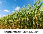 Corn Field  Corn On The Cob....