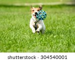 Stock photo jack russell terrier dog running with a ball 304540001