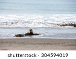 California Sea Lion Rests On A...