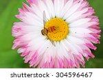 Honey Bee Collecting Nectar...