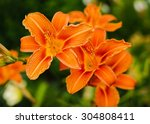 Beautiful Tiger Lilies In A...