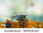 Grasshopper on yellow flower; Shallow depth of field; Focus on eye - stock photo