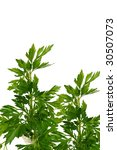 parsley | Shutterstock . vector #30507073