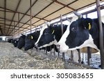 pasture cattle are eating grass | Shutterstock . vector #305083655