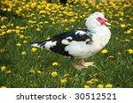 Muscovy Duck In Dandelions