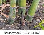 Bamboo Shoot In The Garden