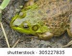 muddy green bull frog resting... | Shutterstock . vector #305227835