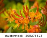 Orange Flowers Of Honeysuckle