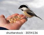 Hungry Chickadee On A Hand