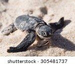 small green sea turtle ... | Shutterstock . vector #305481737