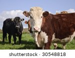 Постер, плакат: cows looking straight on