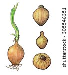 hand drawn set of onions | Shutterstock . vector #305546351
