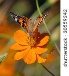 Butterfly On An Orange Flower ...