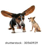 Stock photo a baby basset hound yawning with big ears and a chihuahua 30560929