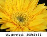 Yellow Gerber Closeup