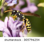 Wasp On A Flower Lilac. Close