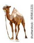 camel on a white background | Shutterstock . vector #305811221