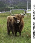highland cattle from northern... | Shutterstock . vector #305854211