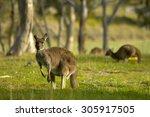 kangaroos graze in the fields | Shutterstock . vector #305917505