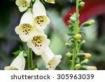 Bell Shaped Flower Of Foxglove.