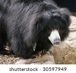 large sloth bear - stock photo