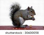 Closeup Of Squirrel Eating