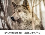 wolf wild gray dog thick forest ... | Shutterstock . vector #306059747