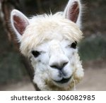 Alpaca Eye Looking  Llamas ...