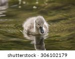 Cygnet Floating On The River ...