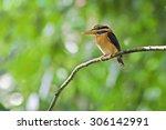 Small photo of Bird, Rufous-collared Kingfisher (Actenoides concretus)