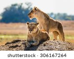 two lionesses on the hill....   Shutterstock . vector #306167264