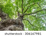 View up a beautiful old plane tree with its green leaves and strangely shaped trunk