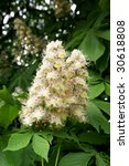 Flowers Of A Chestnut