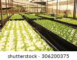 hydroponic vegetables growing... | Shutterstock . vector #306200375