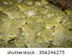 Some Bull Frogs At A Frog Farm