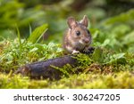 Wild Wood mouse peeking from behind a log on the forest floor - stock photo