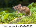Wild Wood mouse resting on the root of a tree on the forest floor with lush green vegetation - stock photo