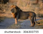 Male Lion Standing And Looking...
